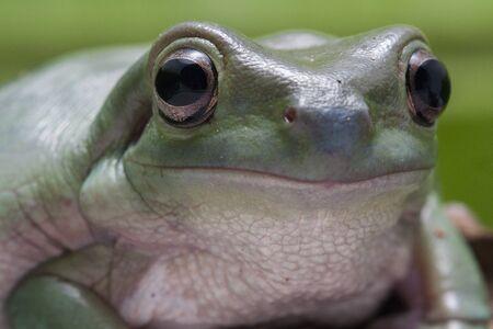 Nahaufnahme Dumpy Laubfrosch / White's Tree Frog Standard-Bild