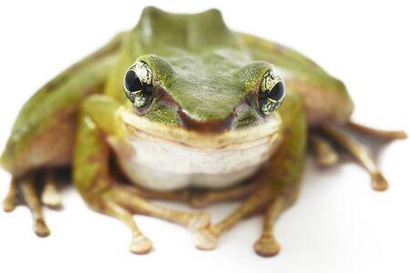 Common Southeast Asian Green Tree Frog - Polypedates leucomystax isolated on white background