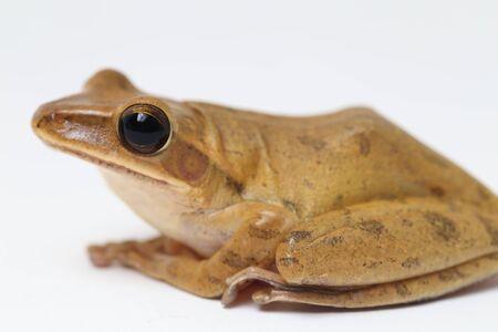 Common Southeast Asian Tree Frog - Polypedates leucomystax isolated on white Stockfoto