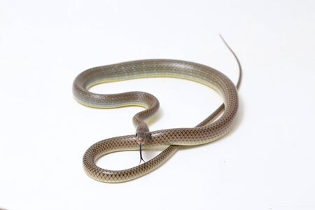 Ptyas korros, commonly known as the Chinese ratsnake or Indo-Chinese rat snake, is a species of colubrid snake endemic to Southeast Asia isolated on white background