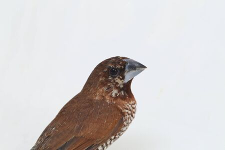 The Javan munia (Lonchura leucogastroides) is a species of estrildid finch found in Southern Sumatra, Java, Bali and Lombok, Indonesia. isolated on white background Stock Photo