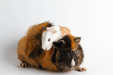 Guinea pig mom with pup isolated on white background