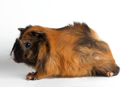 guinea pig on a white background Standard-Bild