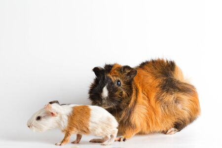 Guinea pig mom with pup isolated on white background Stock Photo