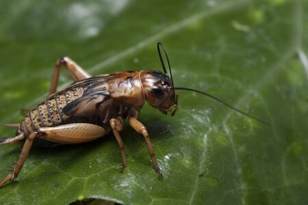A close up of cricket on leaf.
