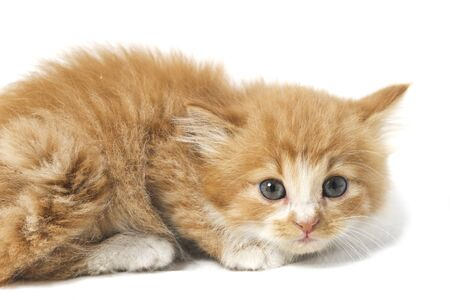 A Beautiful Mixed Domestic Orange cat , funny positions. Animal portrait isolated on white background.