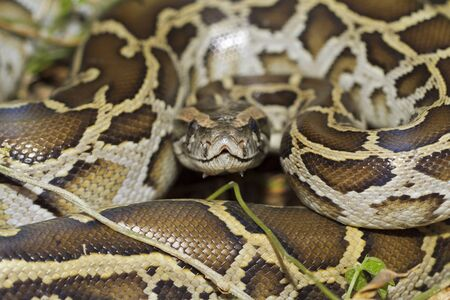 Close up of burmese python (python molurus bivittatus)
