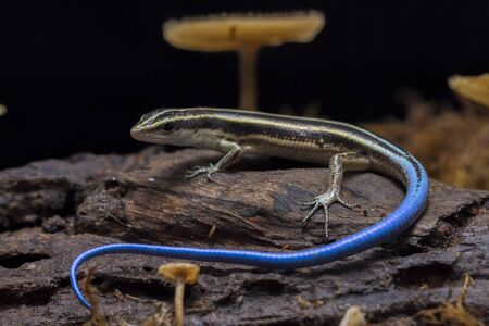 Emoia caeruleocauda, (Blue tailed skink) commonly known as the Pacific bluetail skink, is a species of lizard in the family Scincidae.