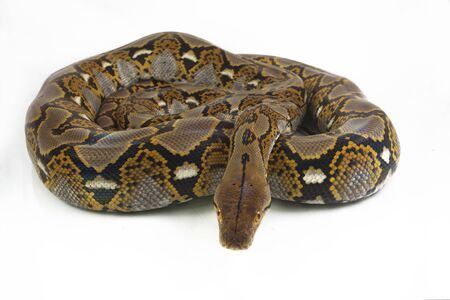 Reticulated Python (Python reticulatus) isolated on white background. Imagens