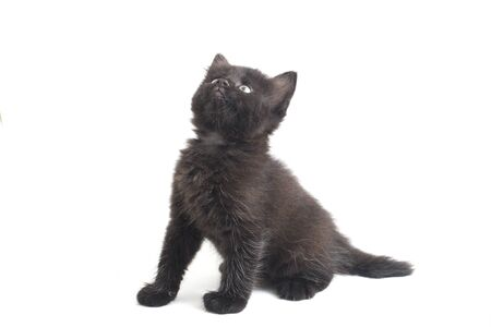 Mixed-Breed Black Cat Kitten, isolated on white background