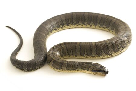 Common puff-faced water snake (Homalopsis buccata)  banded water snake  or banded puff-faced water snake isolated on white background