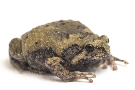 Banded bullfrog or Asian narrowmouth toads It also know chubby or bubble frog This frog is native to Southeast Asia isolated on white background