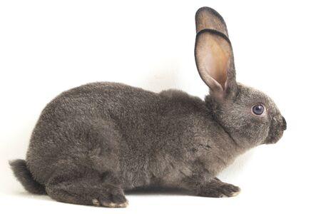 gray rex rabbit isolated on white background Stock Photo