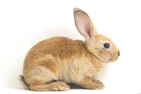 Nettes rotbraunes Rex-Kaninchen lokalisiert auf weißem Hintergrund Standard-Bild