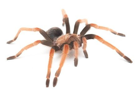 Mexican Fireleg Tarantula (Brachypelma boehmei) isolated on white background