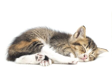 A Beautiful Sleeping Domestic calico kitten cat , funny positions. Animal portrait isolated on white background.
