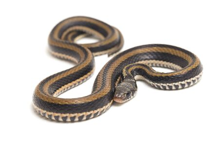 The striped keelback, Xenochrophis vittatus, is a species of snake found mainly in Indonesia isolated on white background