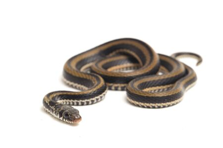 The striped keelback, Xenochrophis vittatus, is a species of snake found mainly in Indonesia isolated on white background Фото со стока