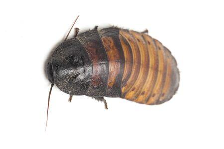 The Madagascar hissing cockroach (Gromphadorhina portentosa) isolated on white background