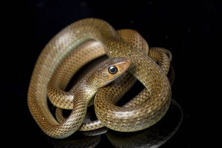 Ptyas korros, commonly known as the Chinese ratsnake or Indo-Chinese rat snake, is a species of colubrid snake endemic to Southeast Asia isolated on black background