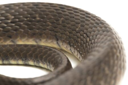 Water Snake Triangle Keelback (Xenochrophis trianguligerus) isolated on white background