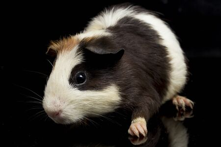 guinea pig isolated on black background