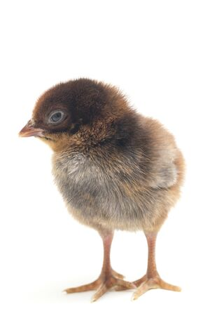 A newborn brown black Chick Ayam Kampung is the chicken breed reported from Indonesia. `free-range chicken` or literally `village chicken`(Gallus domesticus). isolated on white background