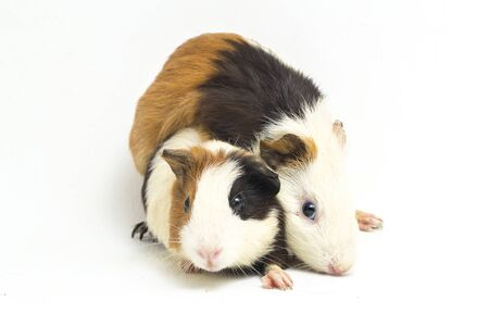 two pair guinea pig isolated on white background Standard-Bild