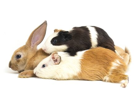 Cute little rex Orange rabbit and guinea pig isolated on white background