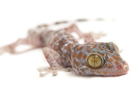 Tokay Gecko (Gekko gecko) isolated on white background. Stok Fotoğraf