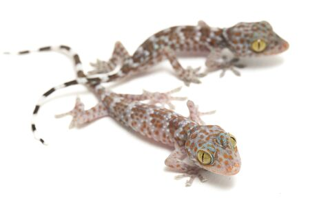 Tokay Gecko (Gekko gecko) isolated on white background.