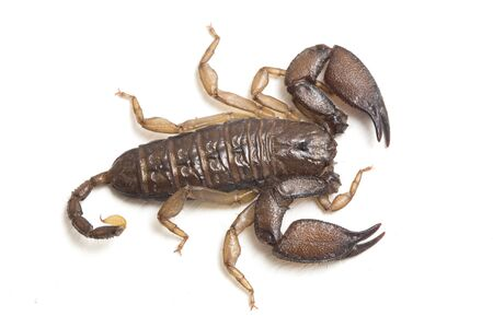 Dwarf wood scorpion (Liocheles sp.) isolated on white background