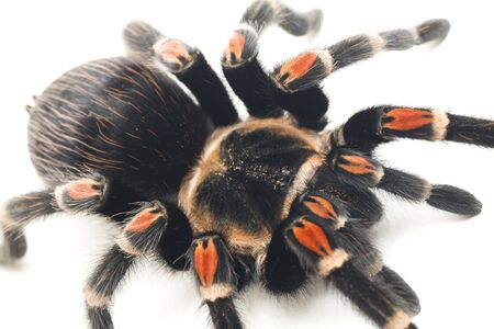 Brachypelma auratum ( Mexican flame knee) is a tarantula endemic to the regions of Guerrero and Michoacán in Mexico. isolated on white background