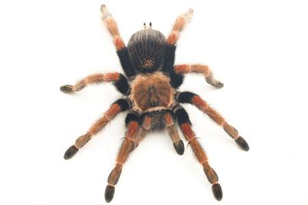 Mexican Fireleg Tarantula (Brachypelma boehmei) isolated on white background