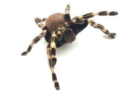The Brazilian red and white tarantula (Nhandu chromatus) is a tarantula species that is native to Brazil. isolated on white background