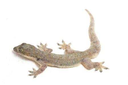 Asian House lizard (hemidactylus) or common gecko isolated on white background Stock Photo