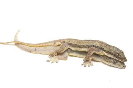 Asian House lizard (hemidactylus) or common gecko isolated on white background
