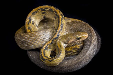 Coelognathus flavolineatus, the black copper rat snake or yellow striped snake, is a species of Colubrid snake found in Southeast Asia. isolated on black background