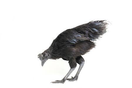 Black Ayam Cemani Chicken isolated on white background.,
