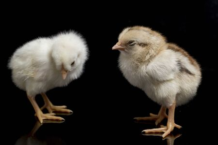 two newborn white yellow brown Chick Ayam Kampung `free-range chicken` or literally `village chicken`Gallus domesticus. isolated on black background