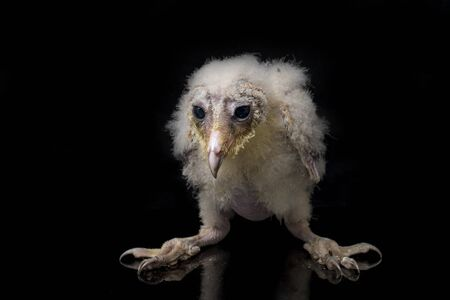 A chick of Barn Owl tyto alba isolated on black background