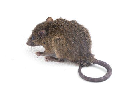 Brown Rat Rattus rattus isolated on white background