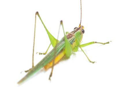 The black-kneed conehead or black-kneed meadow katydid (Conocephalus melaenus), isolated on white background