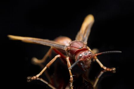 Polistes Carolina, Paper Wasp, Red Wasp isolated on black background Banque d'images