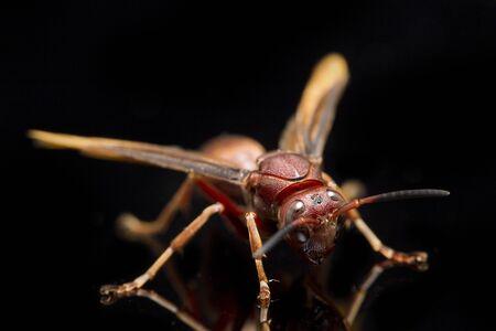 Polistes Carolina, Paper Wasp, Red Wasp isolated on black background Reklamní fotografie