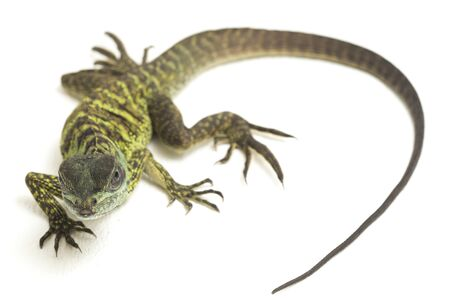 Baby Juvenile Sailfin Dragon Lizard (Hydrosaurus weberi) isolated on white background