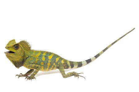 Chameleon forest dragon / Gonocephalus chamaeleontinus isolated on white background