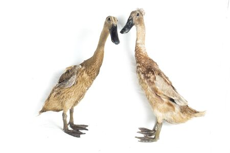 A pair of Indian Runner Duck, Anas platyrhynchos domesticus, isolated on white background Banco de Imagens