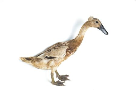 Indian Runner Duck, Anas platyrhynchos domesticus, isolated on white background Banco de Imagens