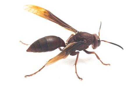 Polistes Carolina, Paper Wasp, Red Wasp isolated on white background